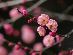 紅梅(red ume-blossom)